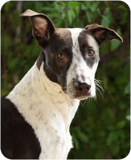 Border Collie/Dalmatian Mix Dog for adoption in El Segundo, California - Princess