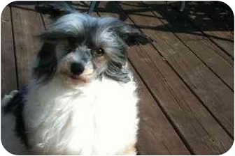 Poodle (Miniature)/Chinese Crested Mix Dog for adoption in Kokomo, Indiana - Dugan