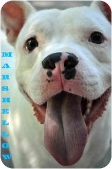 American Pit Bull Terrier/Dogo Argentino Mix Dog for adoption in Trucksville, Pennsylvania - Marshmellow