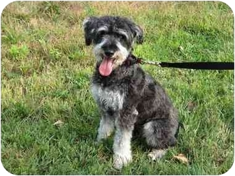 Miniature Schnauzer/Miniature Poodle Mix Dog for adoption in Worcester, Massachusetts - Rocco