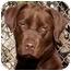 Photo 2 - Labrador Retriever Dog for adoption in El Segundo, California - Cocoa