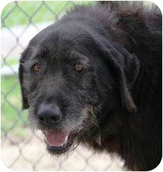 Labradoodle Mix Dog for adoption in Kingwood, Texas - Doodles