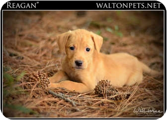 Labrador Retriever/Hound (Unknown Type) Mix Puppy for adoption in Monroe, Georgia - Reagan