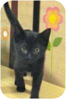 Domestic Shorthair Cat for adoption in Plymouth, Massachusetts - Tabitha