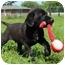 Photo 3 - Labrador Retriever/Boxer Mix Puppy for adoption in Portland, Maine - Lizard