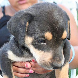 German Shepherd Dog/Labrador Retriever Mix Puppy for adoption in Conway, Arkansas - Angel