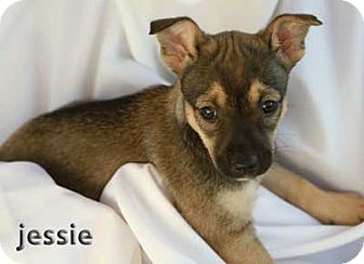 Shepherd (Unknown Type)/Scottie, Scottish Terrier Mix Puppy for adoption in Mission Viejo, California - Jessie