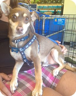 Chihuahua Mix Dog for adoption in Oceanside, California - Jake Jake