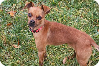 Chihuahua Mix Dog for adoption in Mission Viejo, California - ZEEBO