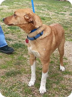 Feist Mix Dog for adoption in Sylva, North Carolina - Lily