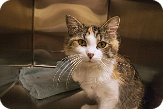 Domestic Shorthair Cat for adoption in Worcester, Massachusetts - Eileen