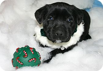 Boxer Mix Puppy for adoption in Pinehurst, North Carolina - Boxer Mix Pup