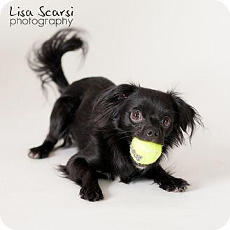 Papillon Mix Puppy for adoption in Los Angeles, California - Rascal