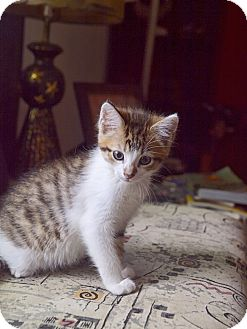 Domestic Shorthair Kitten for adoption in Nashville, Tennessee - Eudora Welty