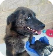 Australian Shepherd/Terrier (Unknown Type, Small) Mix Dog for adoption in Lincolnton, North Carolina - Julius $40 July19-Aug2