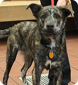 Shepherd (Unknown Type)/Australian Cattle Dog Mix Dog for adoption in Port Washington, New York - Champ