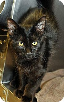 Domestic Mediumhair Kitten for adoption in Fort Leavenworth, Kansas - August Rush