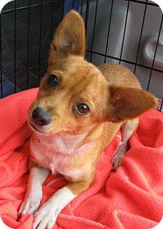 Chihuahua Mix Dog for adoption in Winder, Georgia - Minnie