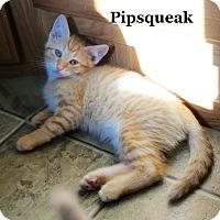 Adopt A Pet :: Pipsqueak - Bentonville, AR