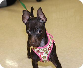 Miniature Pinscher Mix Puppy for adoption in Las Vegas, Nevada - GRACIELLA