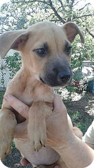 Shepherd (Unknown Type) Mix Puppy for adoption in White Settlement, Texas - Hope