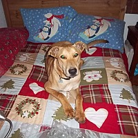 Labrador Retriever/German Shepherd Dog Mix Dog for adoption in Jacumba, California - Roscoe