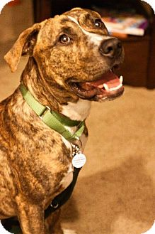 American Pit Bull Terrier Dog for adoption in Sacramento, California - Tyson