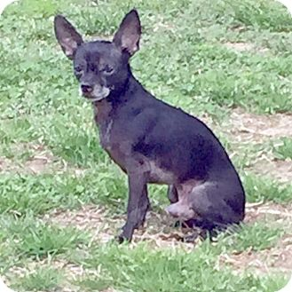 Chihuahua Dog for adoption in Durham, North Carolina - Ike