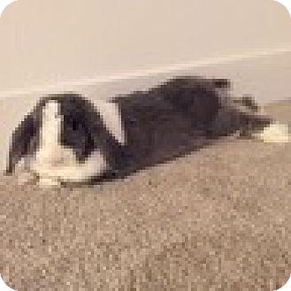 Lop-Eared Mix for adoption in Paramount, California - Milton