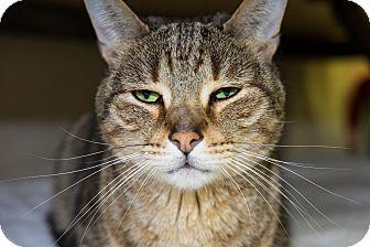 Domestic Shorthair Cat for adoption in Acushnet, Massachusetts - Gary