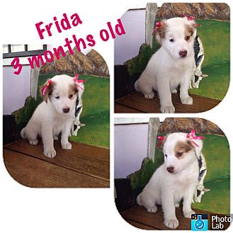 Cattle Dog/Retriever (Unknown Type) Mix Puppy for adoption in LAKEWOOD, California - Frida
