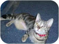Bengal Cat for adoption in Hamburg, New York - Ice Sis