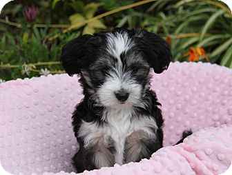 Havanese Mix Puppy for adoption in Newport Beach, California - SAPPHIRE