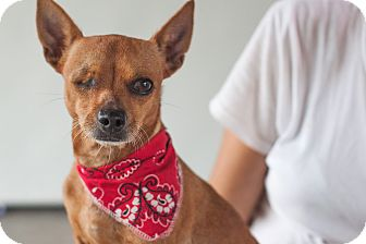 Chihuahua Mix Dog for adoption in Nanaimo, British Columbia - Twinkie