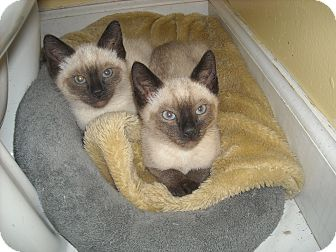 Siamese Kitten for adoption in Arlington, Virginia - Ariel & King-Adoption Pending