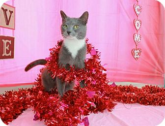 Domestic Shorthair Cat for adoption in Erwin, Tennessee - Bootsie