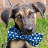 Adopt A Pet :: Hatchi - Savannah, GA