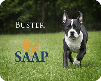 Pit Bull Terrier Mix Dog for adoption in Newport, Kentucky - Buster