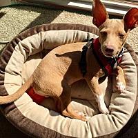 Adopt A Pet :: Bambi! - New York, NY