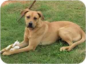 Labrador Retriever Mix Dog for adoption in McDonough, Georgia - Will - Graphic Photos