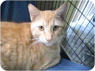Domestic Shorthair Cat for adoption in Columbiaville, Michigan - Simba
