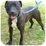 Photo 3 - American Pit Bull Terrier Mix Dog for adoption in Berkeley, California - Isaac