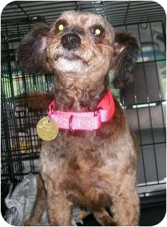 Yorkie, Yorkshire Terrier/Poodle (Miniature) Mix Dog for adoption in Oak Ridge, New Jersey - Curly Jane