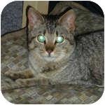 Domestic Mediumhair Cat for adoption in Ottawa, Ontario - Rogue