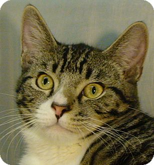 Domestic Shorthair Cat for adoption in El Cajon, California - Leo