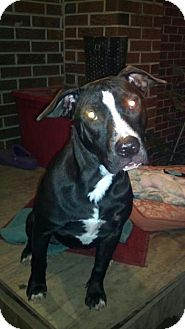 American Pit Bull Terrier Mix Dog for adoption in Killen, Alabama - Maddie