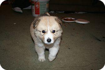Husky Mix Puppy for adoption in Westfield, Indiana - Smokey