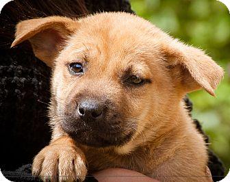 Shepherd (Unknown Type)/Labrador Retriever Mix Puppy for adoption in Poway, California - Spencer