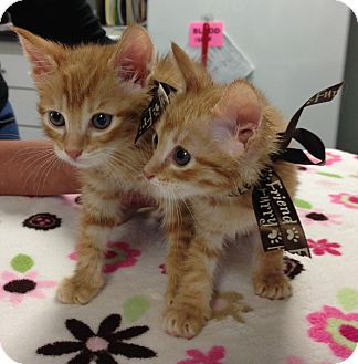 Domestic Shorthair Kitten for adoption in Davis, California - Purrmonkey