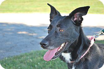 Border Collie/Labrador Retriever Mix Dog for adoption in Berea, Ohio - Candy